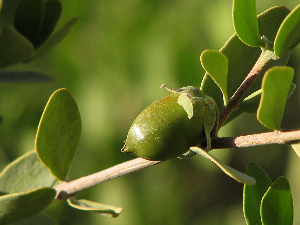 picture of Jojoba