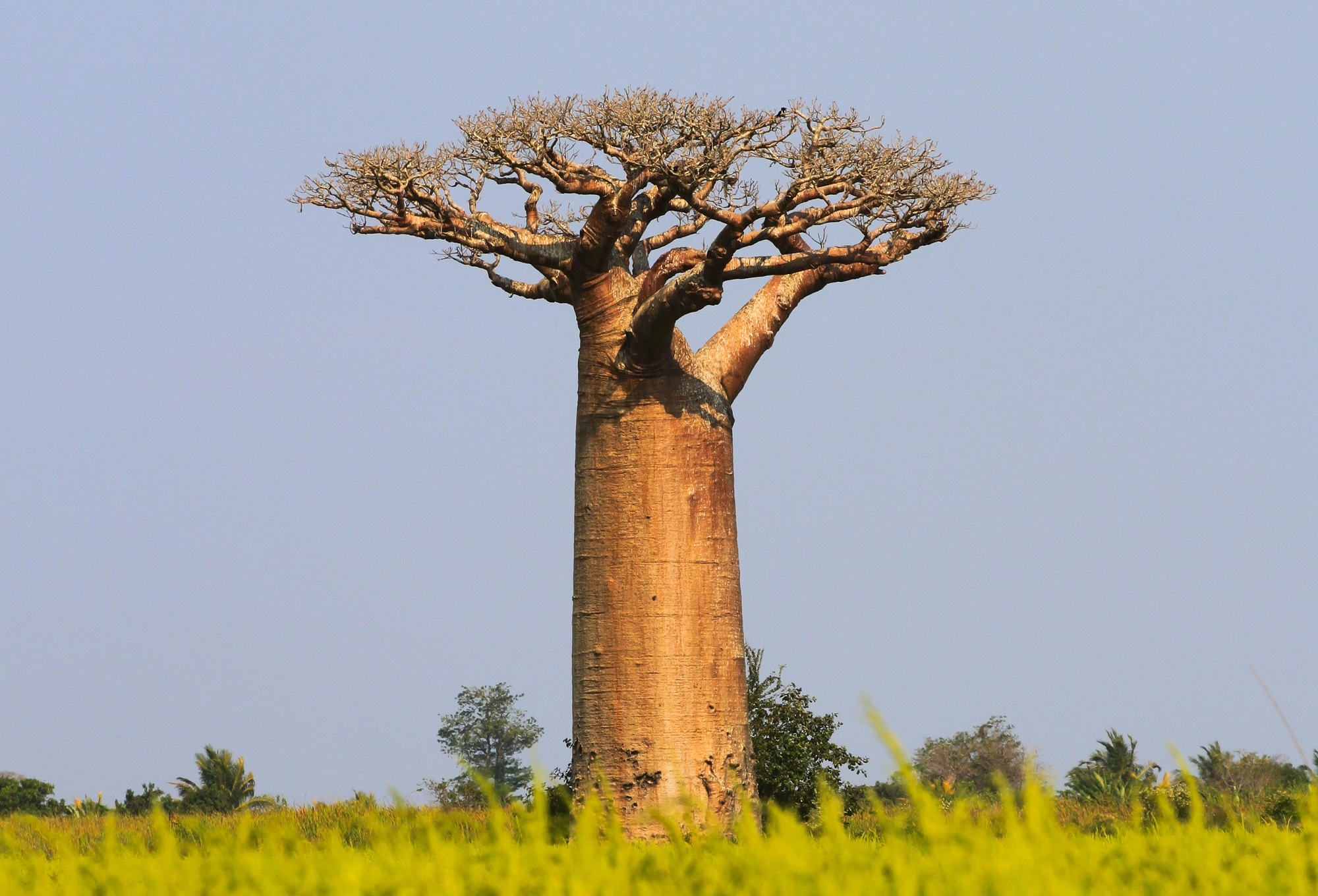 picture of Baobab