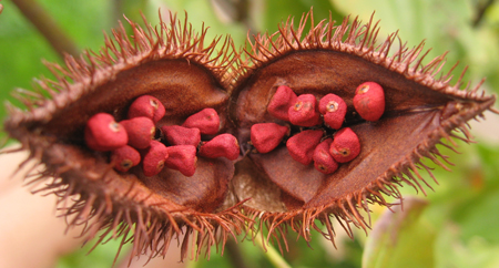 picture of Urucum